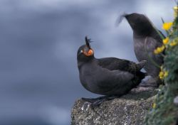 Crested Auklets, St. George Island Photo