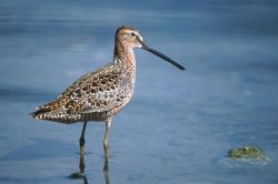 Long-billed Dowitcher Photo