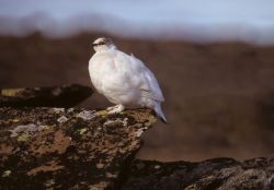 Rock Ptarmigan in Winter Plumage Photo