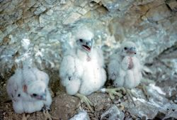 Peregrine falcon nest Photo