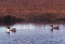Northern Shoveler Pair Photo