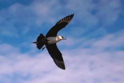 Parasitic Jaeger in Flight Overhead Photo