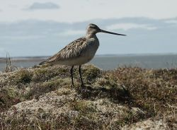 Bar-tailed Godwit Photo