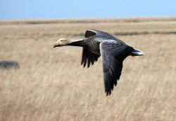 Emperor Goose in Flight Photo