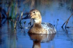 Canvasback Female Photo