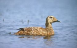 Spectacled Eider Female Photo