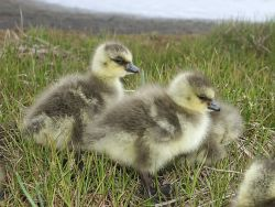 Cackling Canada Goose Hatchlings Photo