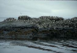 Walrus Island, Murre Rock, Pribilofs Photo