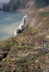 Hall Island wildflowers, Bering Sea Photo
