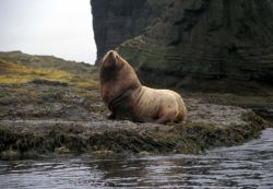 Agattu Island, Steller Sea Lion bull Photo