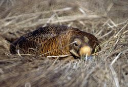 Spectacled Eider Female on Nest Photo