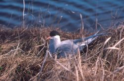 Arctic Tern on Nest Photo