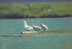 Glaucous Gull Brood Photo
