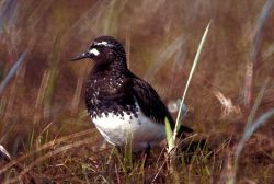 Black Turnstone Photo