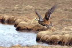 Spectacled Eider Female in Flight Photo