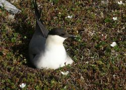 Long-tailed Jaeger on Nest Photo