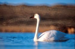 Tundra Swan Photo