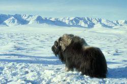 Musk Ox Bull on Frozen Tundra Photo
