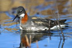 1002 Area: Red-necked Phalarope female Photo