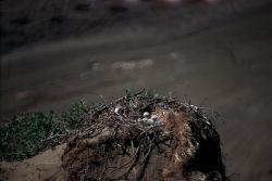 Rough-legged Hawk Nest Photo