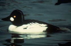 Common Goldeneye Photo