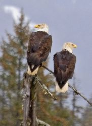 Bald Eagle Pair Photo