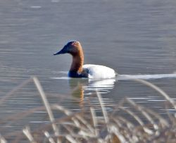 Canvasback Drake Photo