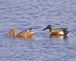 Northern Shovelers Photo