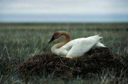 Tundra Swan on Nest Photo