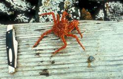 King Crab - 2 Years Photo