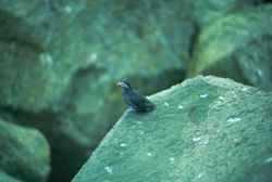 Whiskered Auklet Photo