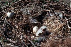 Rough-legged Hawk Chicks in Nest Photo