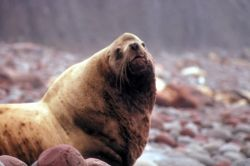 Steller Sea Lion at Haulout Photo
