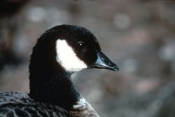 Canada Goose Head Portrait Photo