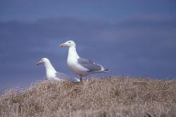 Glaucous-winged Gulls Photo