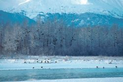 Bald Eagles at Haines Photo