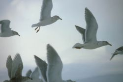 Glaucous-winged Gulls in Flight Photo