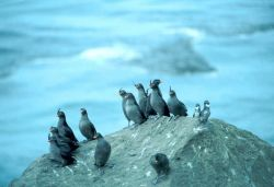 Crested Auklets and Least Auklets Photo