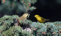 Nesting yellow warblers Photo
