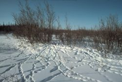 Ptarmigan Tracks in Snow Photo