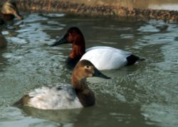 Canvasback Pair Photo