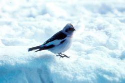 Snow Bunting Photo