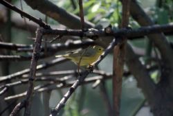 Warbler on Branch Photo
