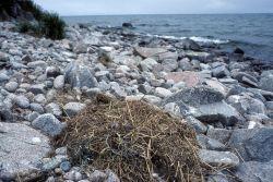 Glaucous-winged Gull Nest on Egg Island Photo