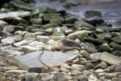 Least Sandpiper at Becharof Lake Photo