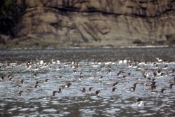Murres on the Water Photo