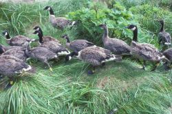 Aleutian Cackling Goose Flock and Brood Photo