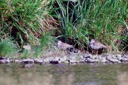 Greater Yellowlegs at Oil Creek Photo