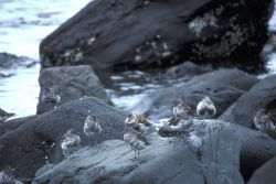Rock Sandpipers at Alinchak Bay Photo