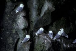 Black-legged Kittiwakes Photo